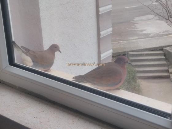 İki kumru kuşu 1 aydır buraya konuyorlar alıştılar